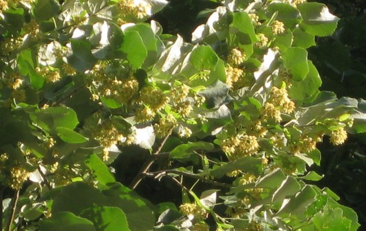 The Fragrant Linden Tree (Tilia)