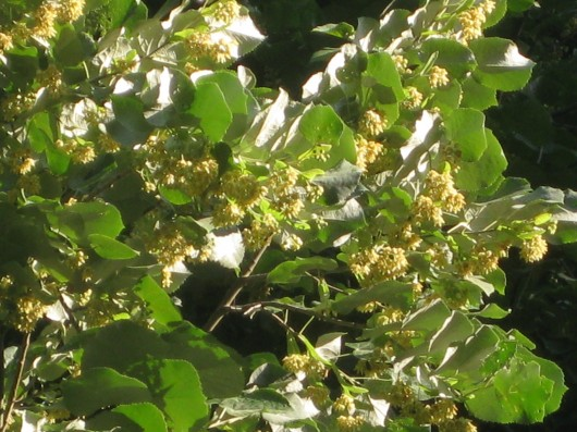 The fragrant linden tree tilia mightylinksfo