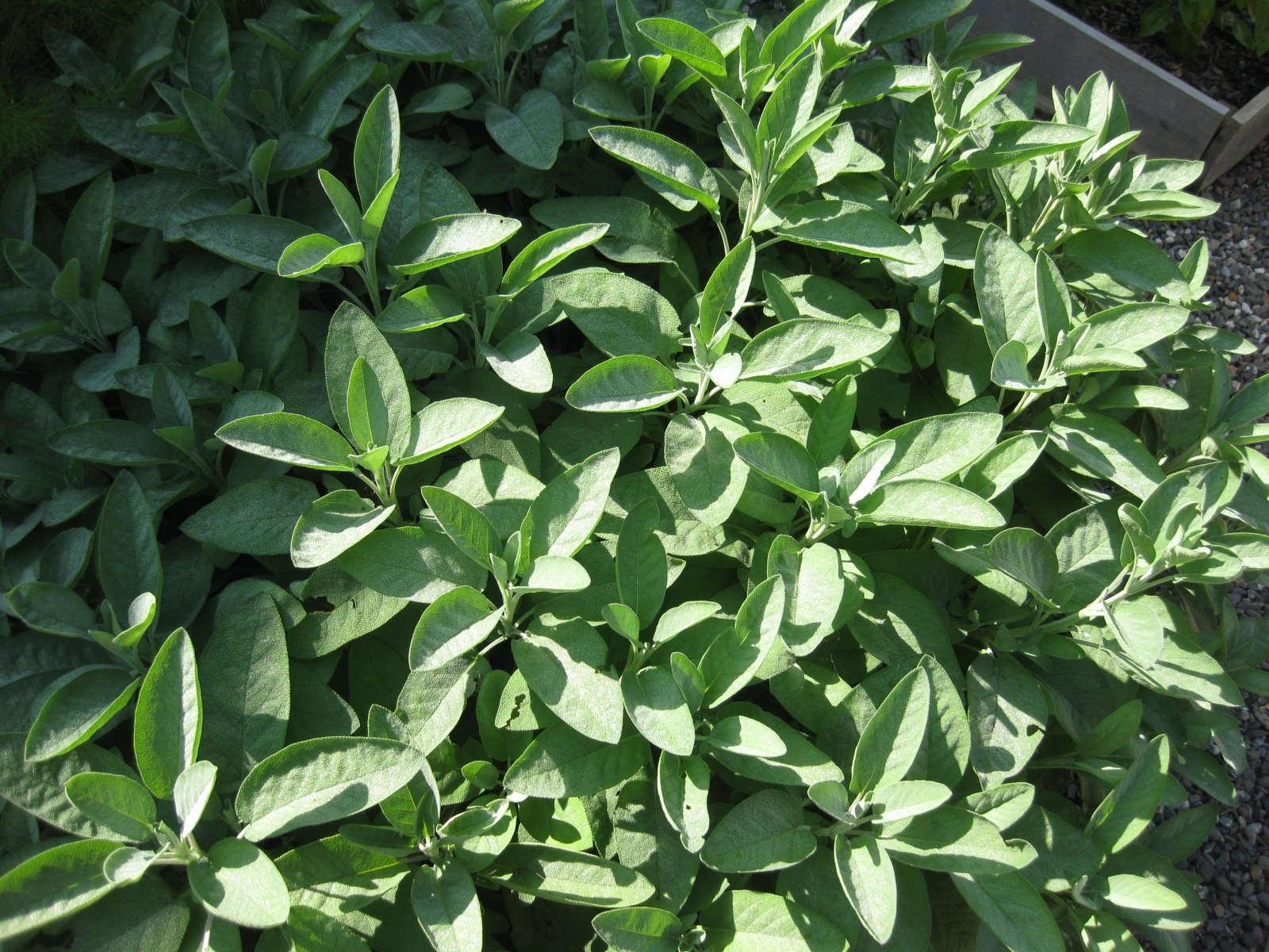 Recipe: Savory Fried Sage Leaves