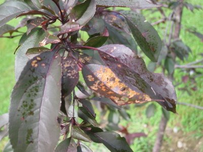 Spots on Crabapple Leaves: What's Playing Malice With My Malus?