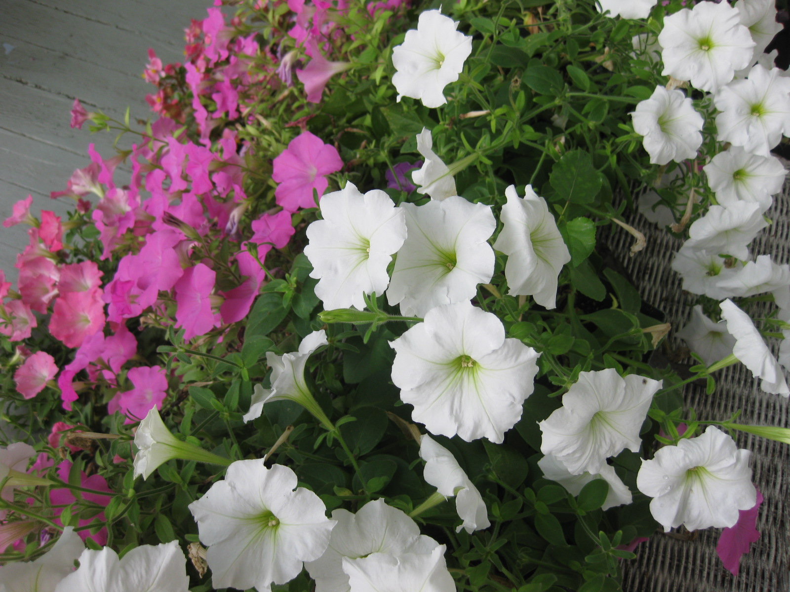 Tip: First Aid for Weary Petunias