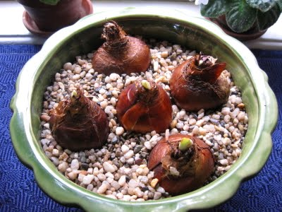 Forcing Tender Bulbs in Pebbles & Water