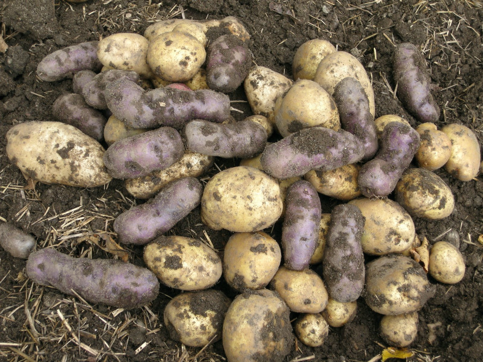 Weeds in flower beds with potato like roots - Weeds In Flower Beds With Potato Like Roots 41