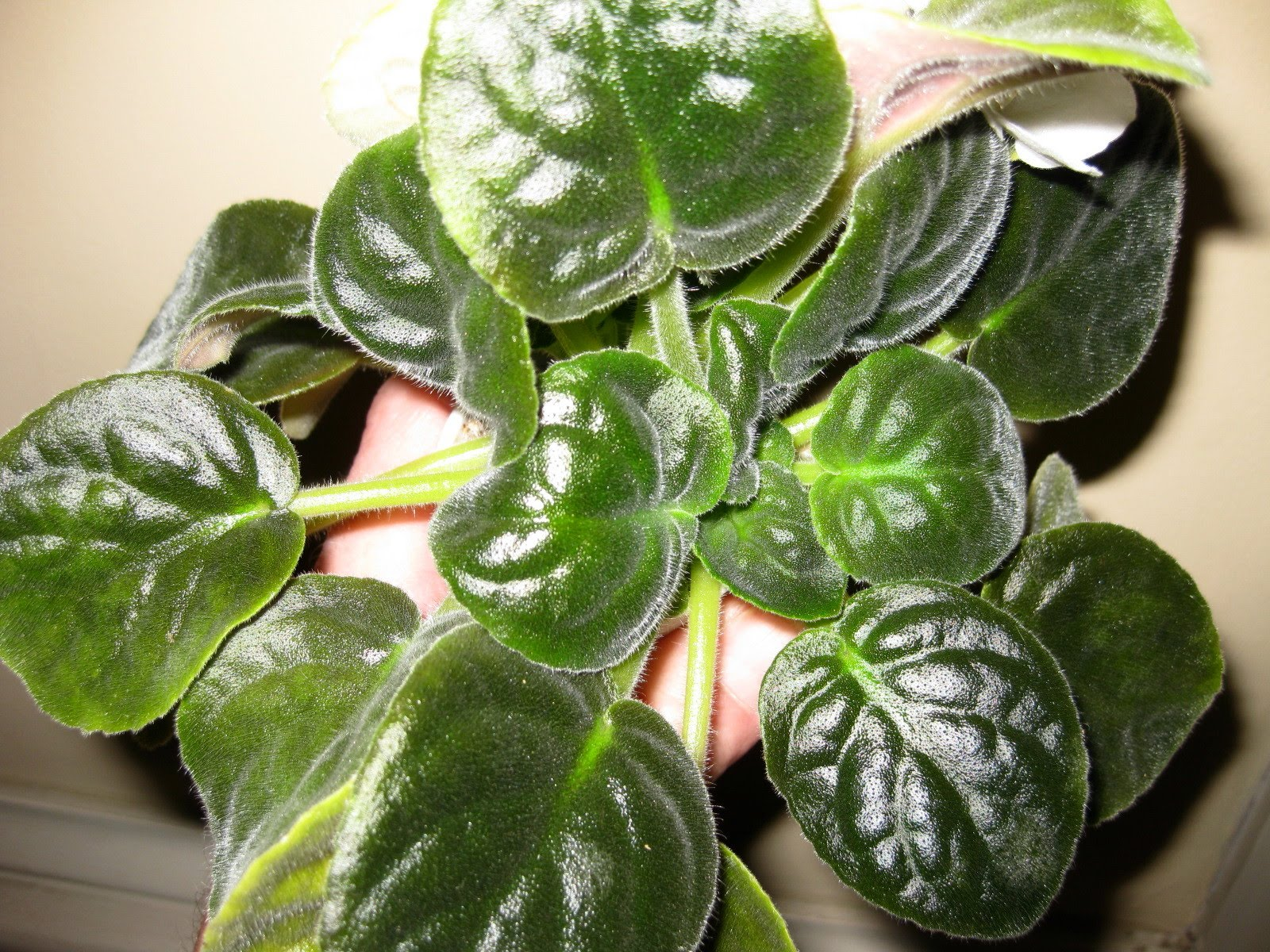 African Violets: Divide & De-Sucker for Better Flowering