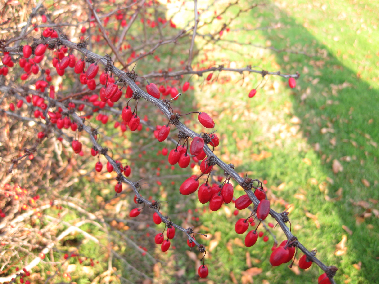 Landscaping Shrubs With Red Berries : For the birds red berried trees shrubs vines