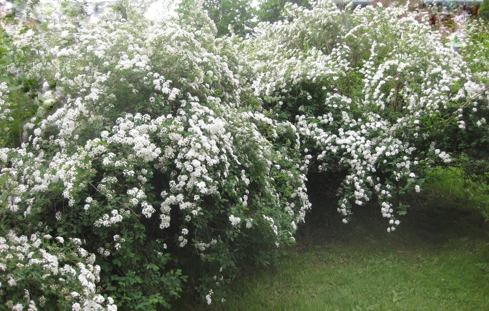 Here Comes the Bridal Wreath (Spirea vanhouttei)
