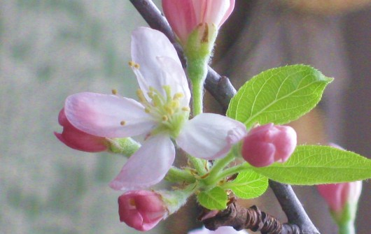 Apple Blossoms in February