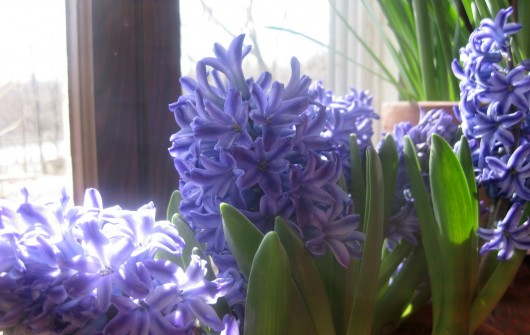 Now in Bloom: Double-Potted Hyacinths