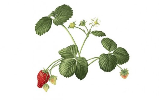 Seascape: My Favorite Spring-to-Frost Strawberries