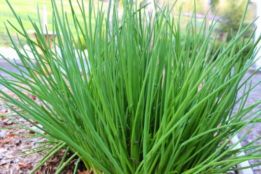 For the very best chives, head out to the garden with scissors or hand ...