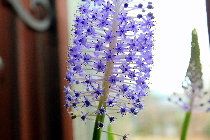 Window Garden Fun: Scilla Madeirensis