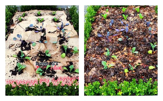 cabbage bed, before and after mulching paint jpg