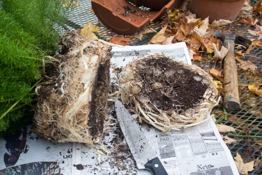 asparagus-fern-cut-half-roots-10-21-16