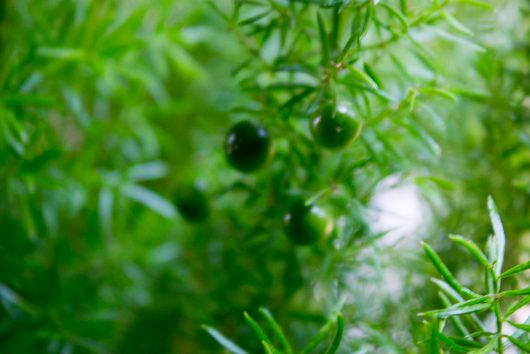 asparagus-fern-green-berries-10-24-16