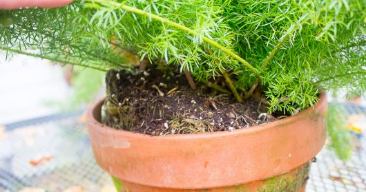 asparagus-fern-outgrew-pot-10-21-16