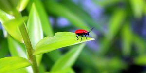 Waging War on the Lily Leaf Beetle