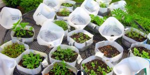 How to Transplant Winter-Sown Seedlings