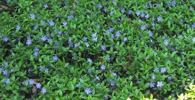 No fail ground covers pachysandra vinca minor and boston ivy mightylinksfo
