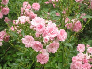 I Have Never Met A Harr Rose Than The Fairy From June Through Frost This Compact Grower 3 4 Tall And Wide Produces Spray After Of Tiny Pink