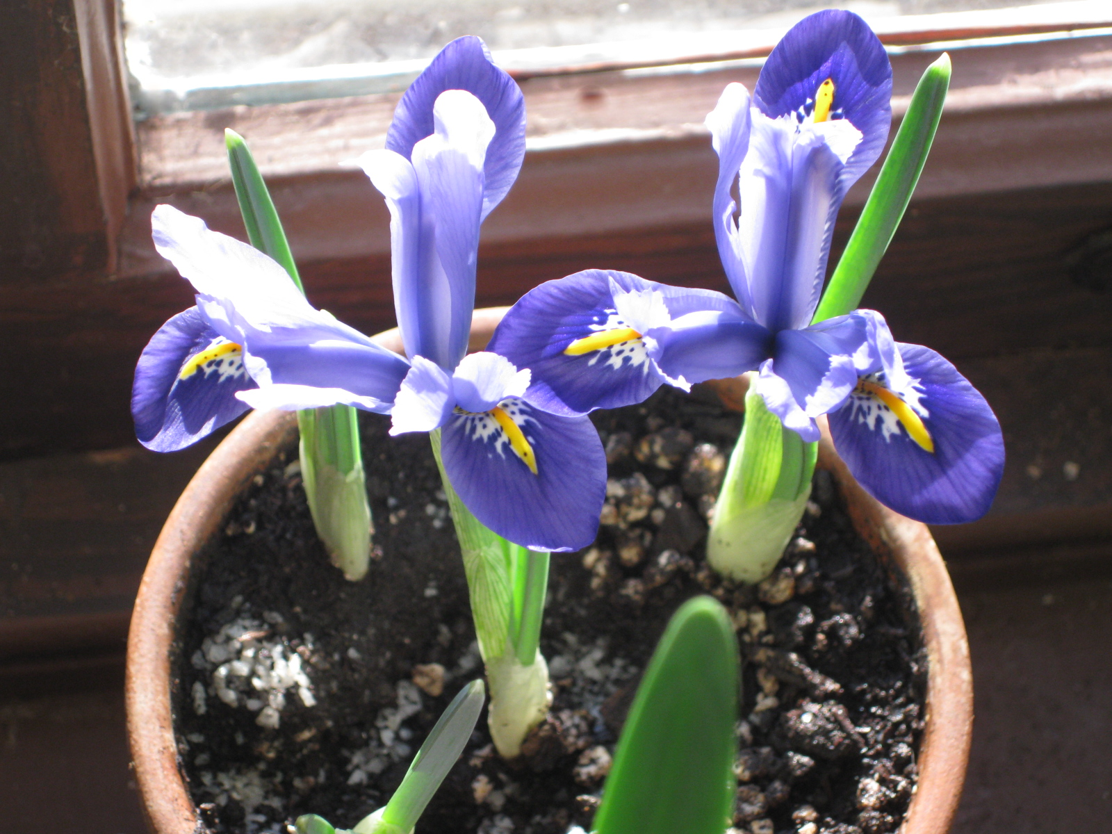 Winter Blooms: Iris Reticulata