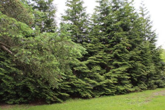 Need Privacy Plant Thuja Green Giant