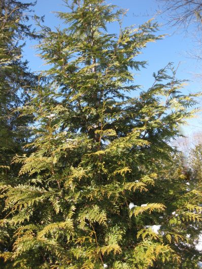 thuja green giant feb 2010