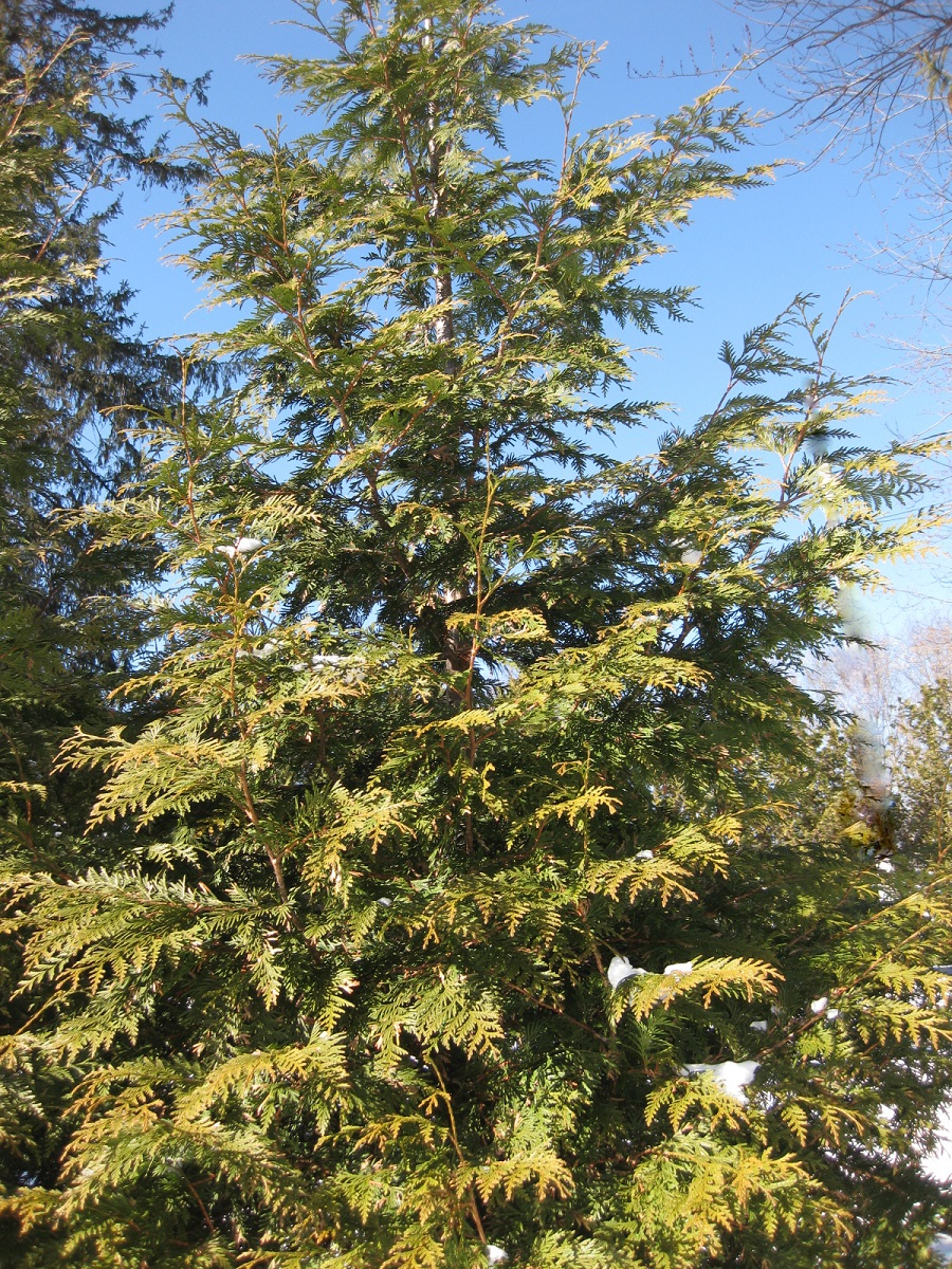 thuja green giant evergreen tree