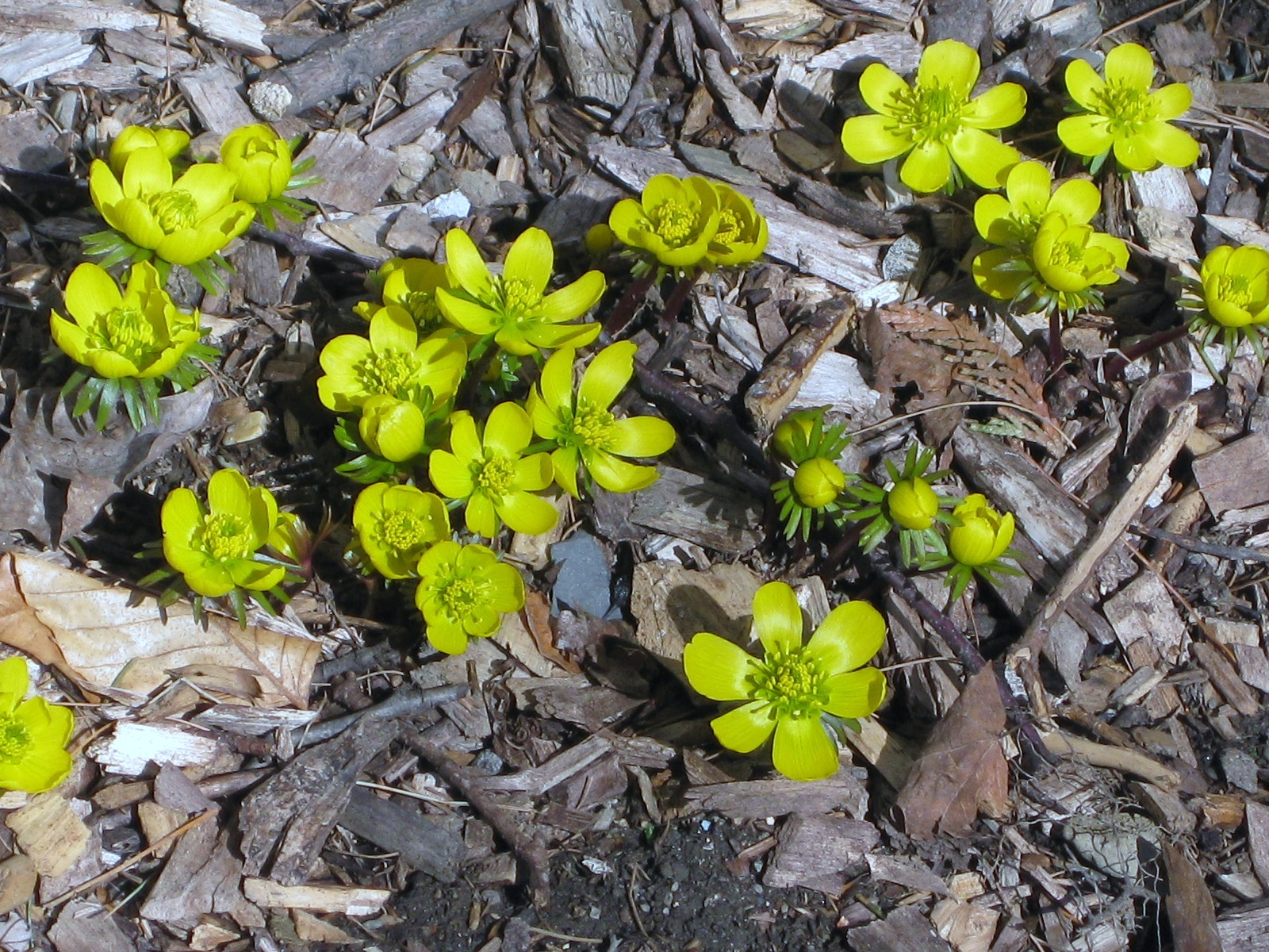 Eranthis hyemalis, The Winter Aconite