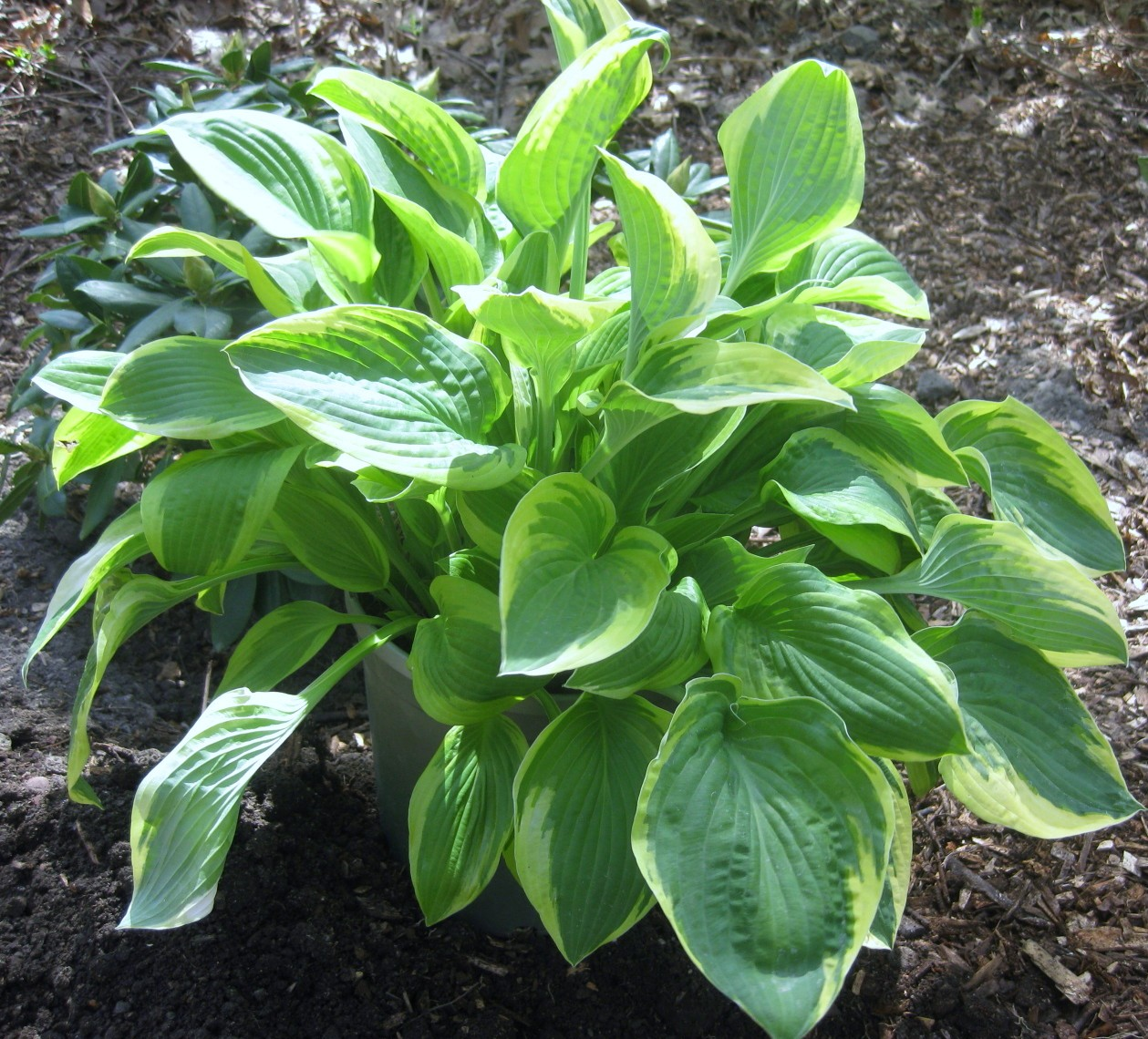 Image Result For How To Start A Hosta Garden