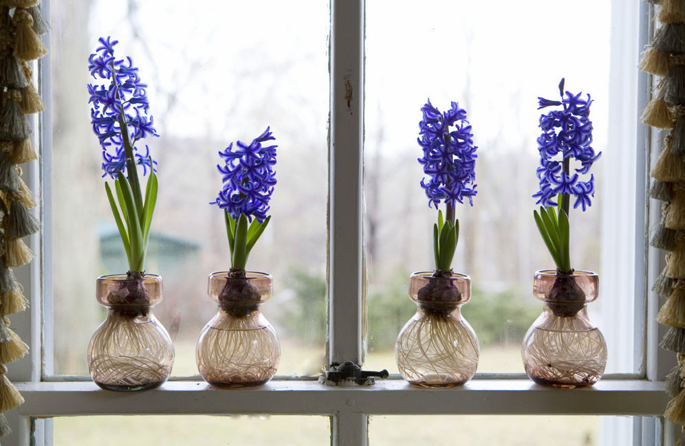 Forcing Hyacinths for Winter Bloom