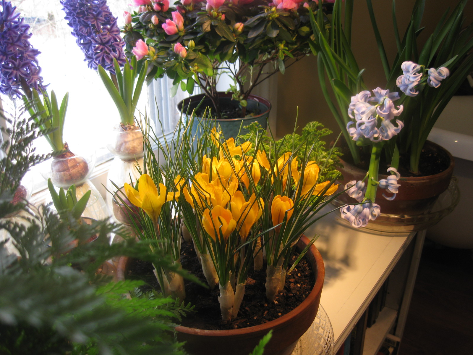 Forcing Crocus for Winter-Bloom Indoors