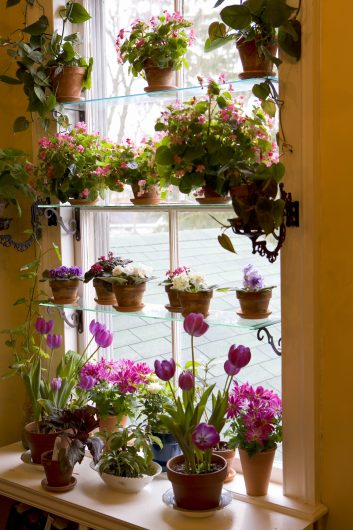 forced-single-early-tulips-in-kevins-window-garden