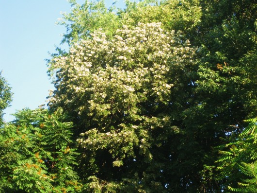 The fragrant linden tree tilia ive mightylinksfo