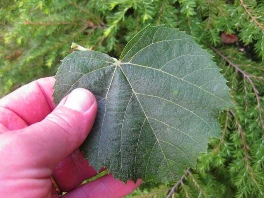 The Fragrant Linden Tree