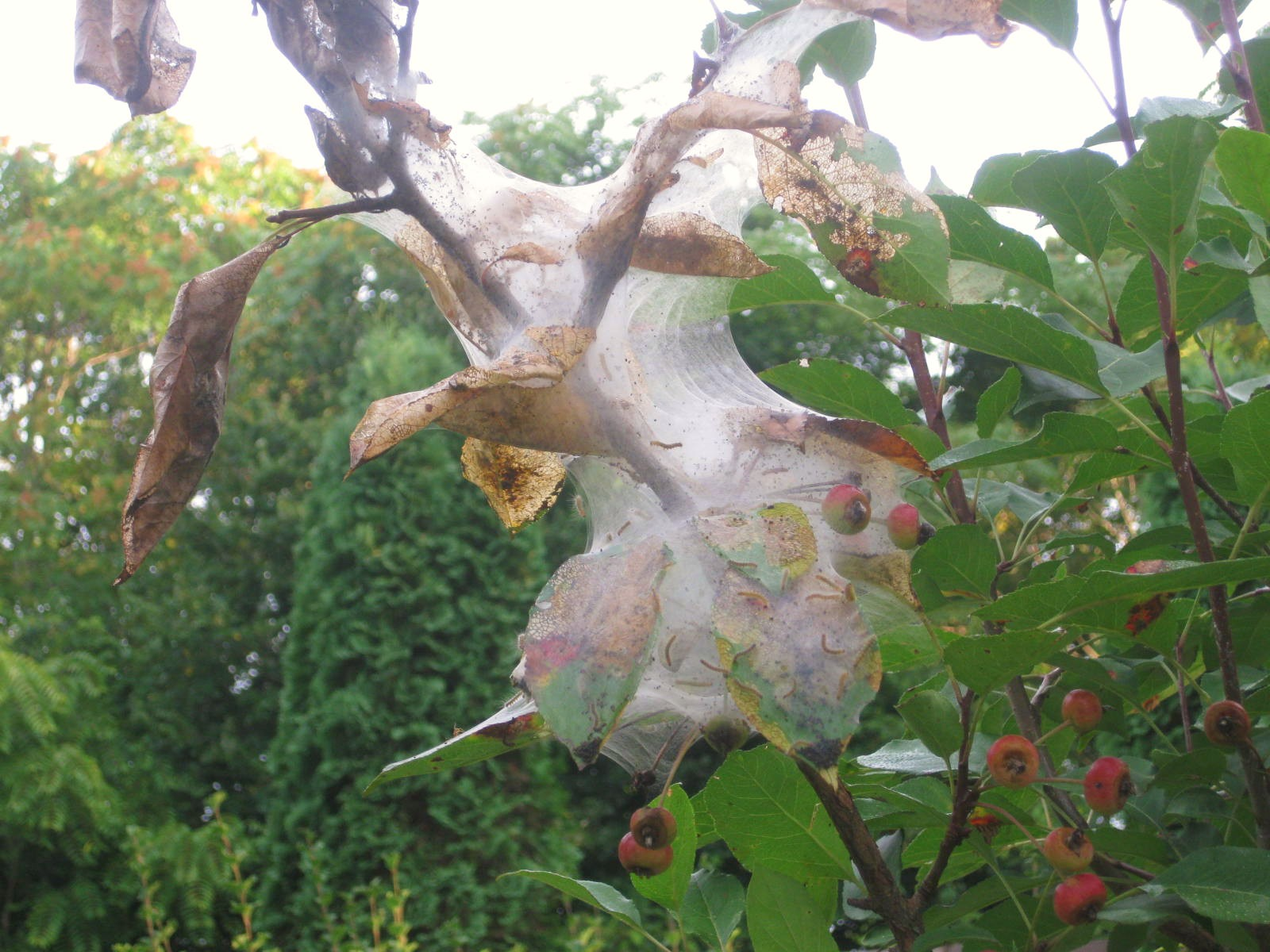 The Fall Webworm