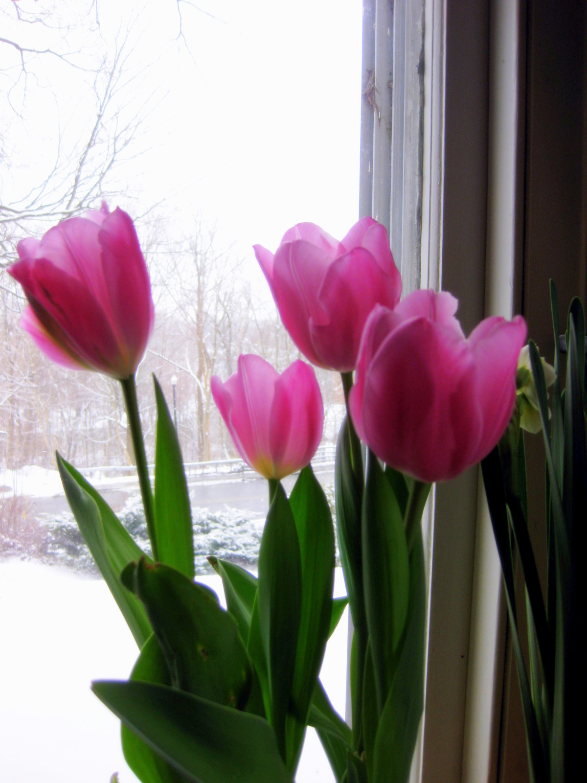 How I Force Tulips for Winter Bloom