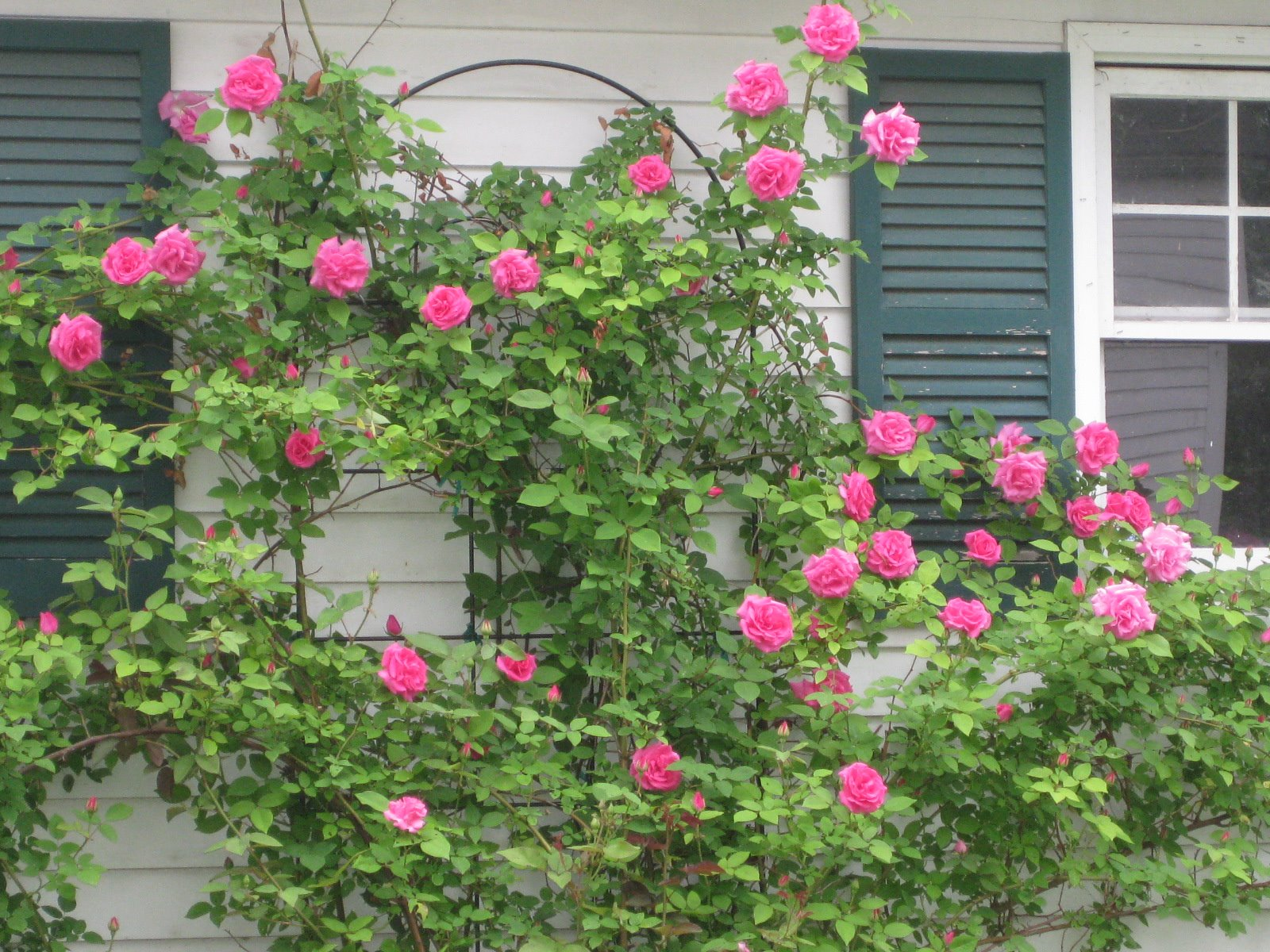 Zephirine Drouhin Climbing Rose rosa 'zephirine droughin:' fragrant & shade tolerant – kevin