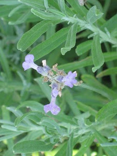 Two Easies for July: Lavandula angustifolium & Buddleja. And, a question for you!