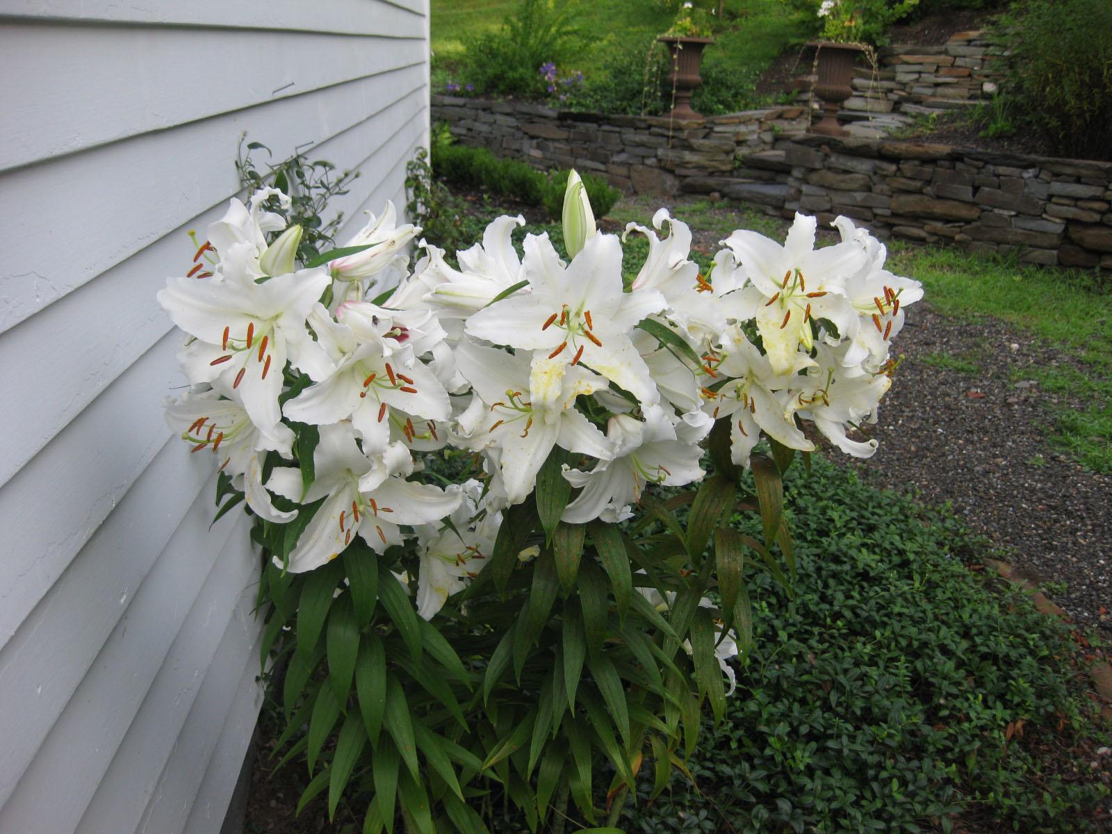 Towering Treasures: Oriental Hybrid Lilium