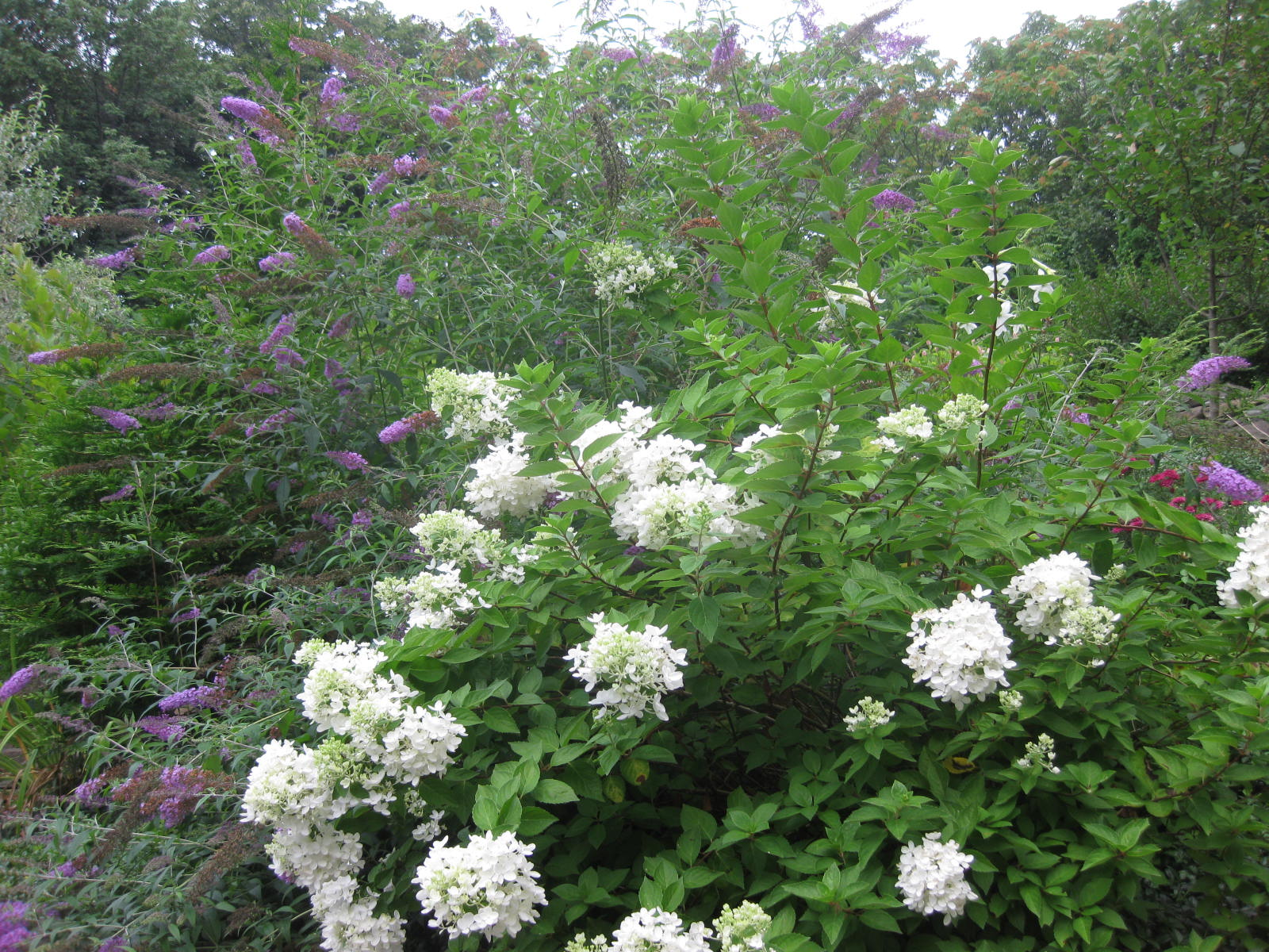 August flowers your favorites mine hydrangea paniculata makes a striking display in august this is when clusters of snow white bloom appear at the tips of graceful arching stems mightylinksfo