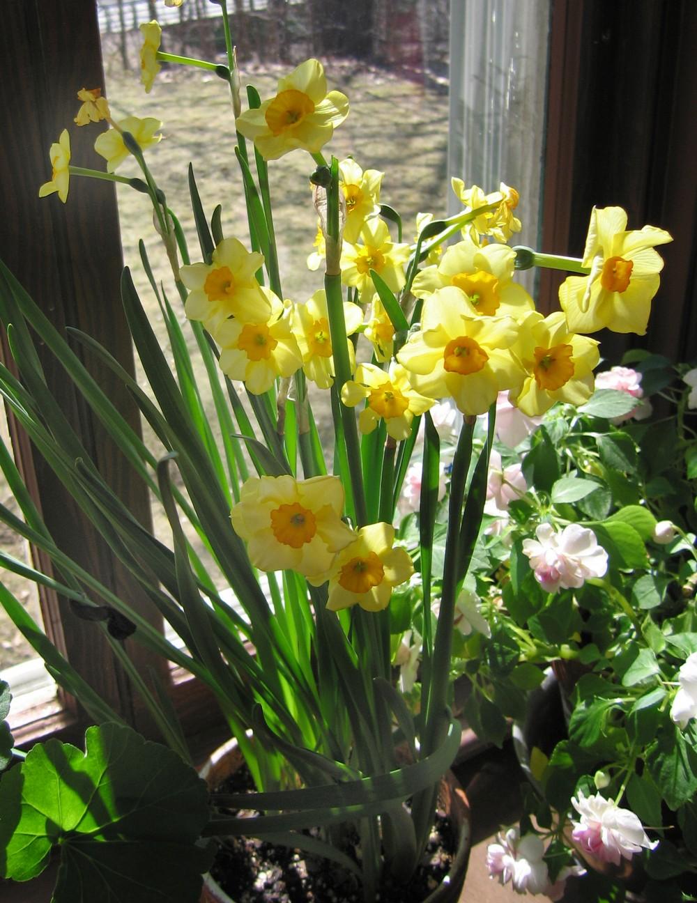 The Hardy Boys: Flowering Bulbs for Winter Windows