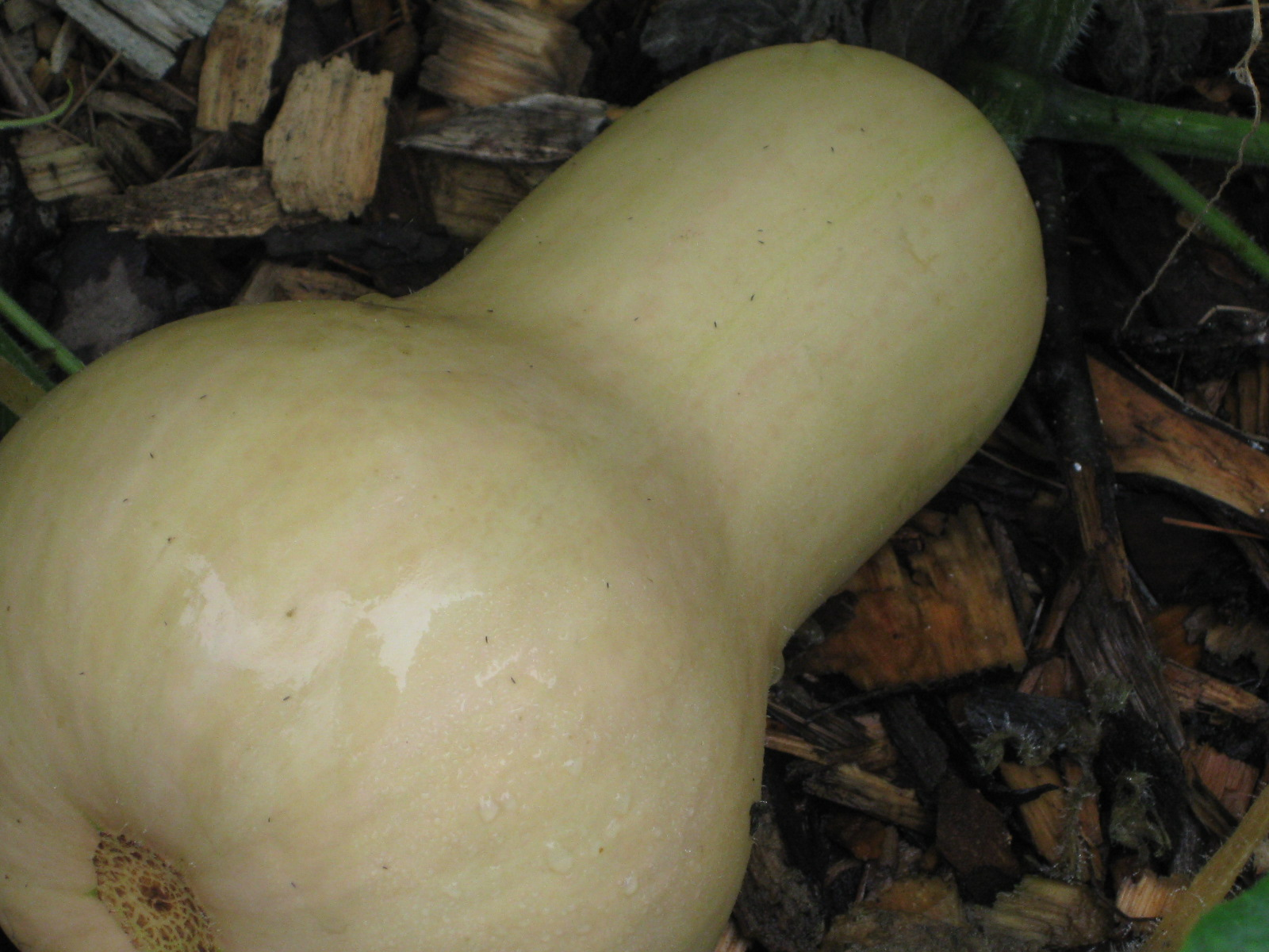 How to Harvest & Store Winter Squash (Butternut, Acorn, Pumpkin, Hubbard)