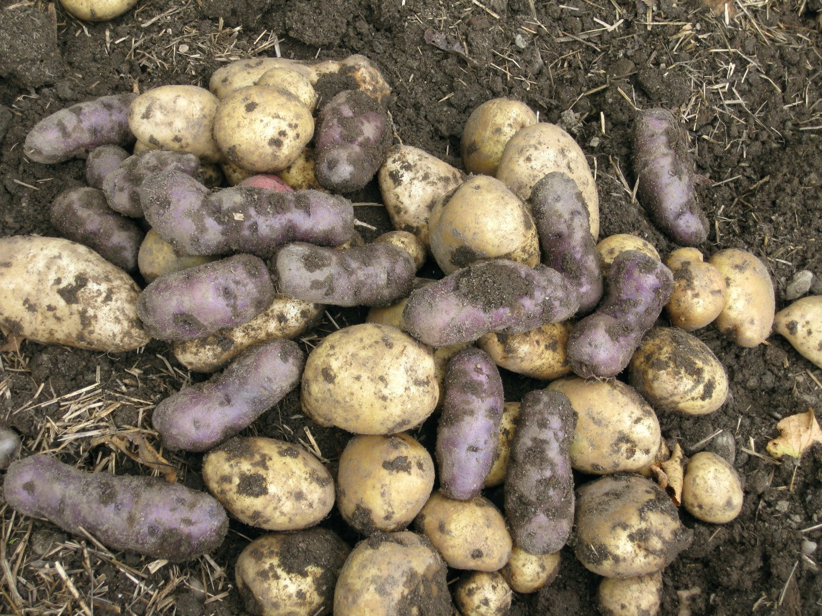 How To Plant , Grow, Harvest & Store Potatoes