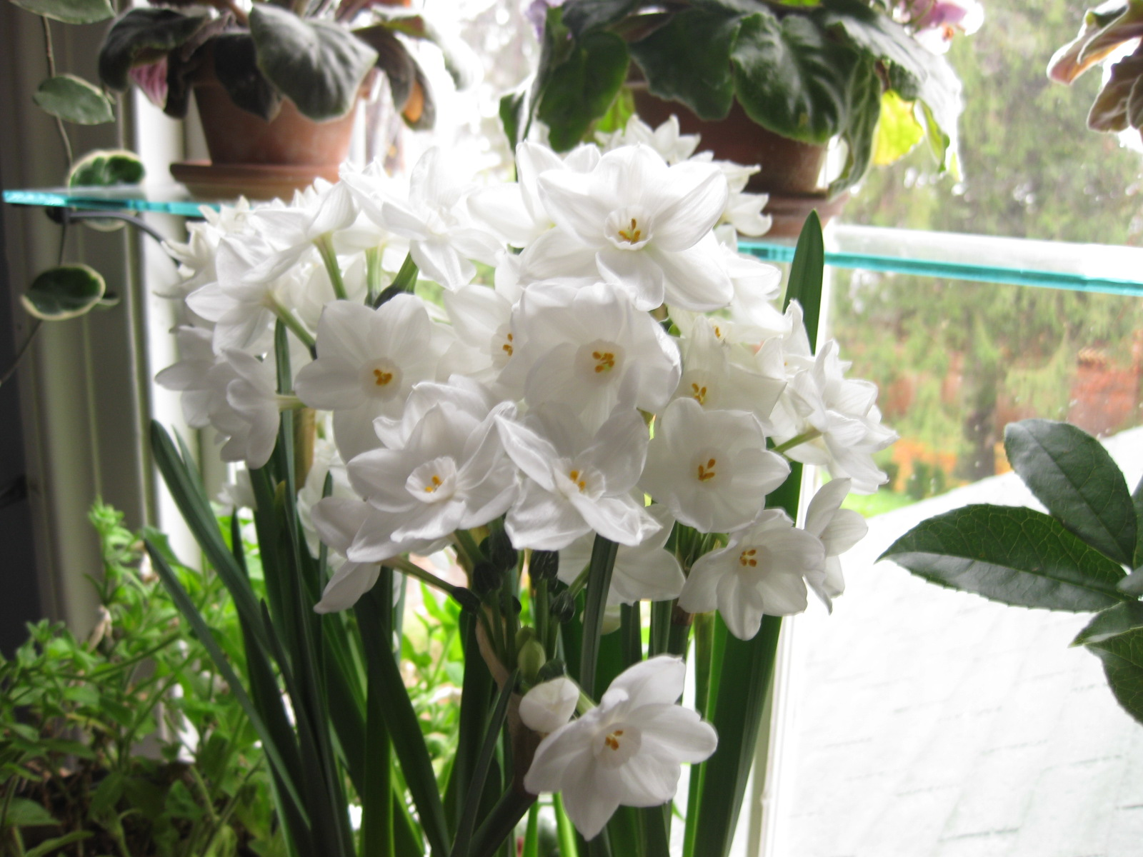 Pickled paperwhites narcissus grandiflora although most garden centers sell the standard ziva paperwhite there are other varieties worth trying i love ariel above and also nir for their mightylinksfo