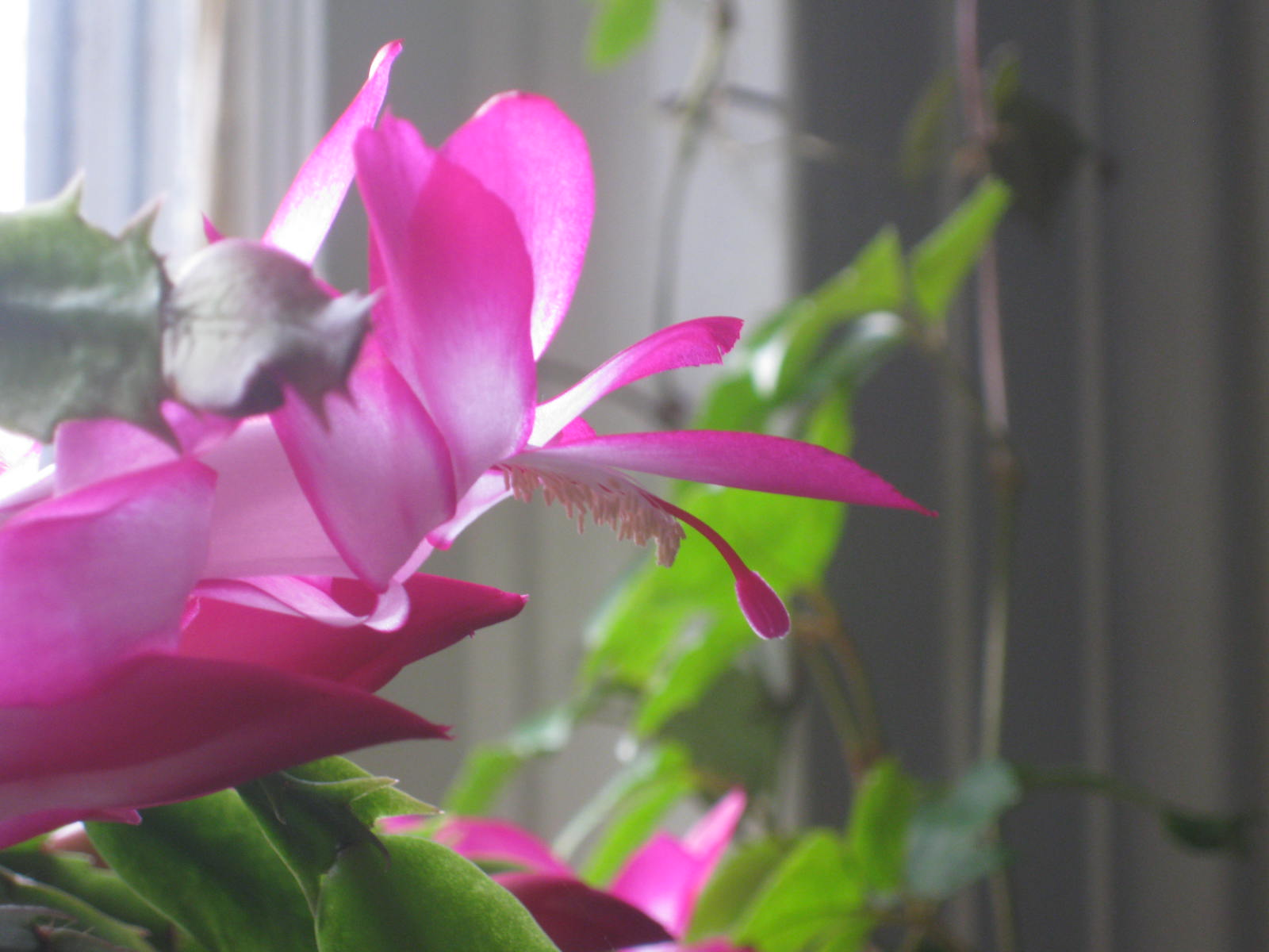 "November Brilliance: The ""Thanksgiving"" Cactus (Schlumbergera truncate)"