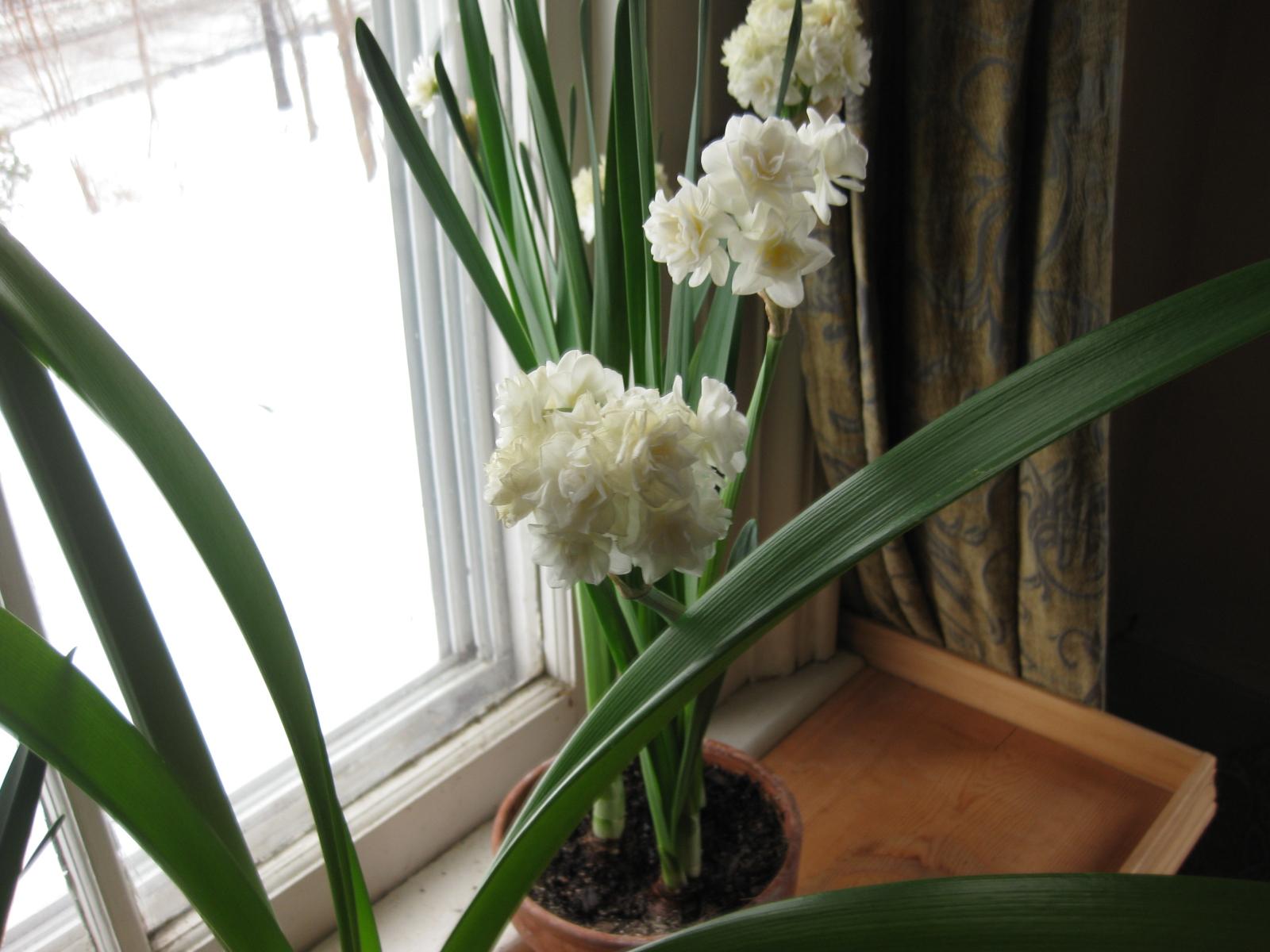 Scented Snowballs: Narcissus 'Erlicheer'