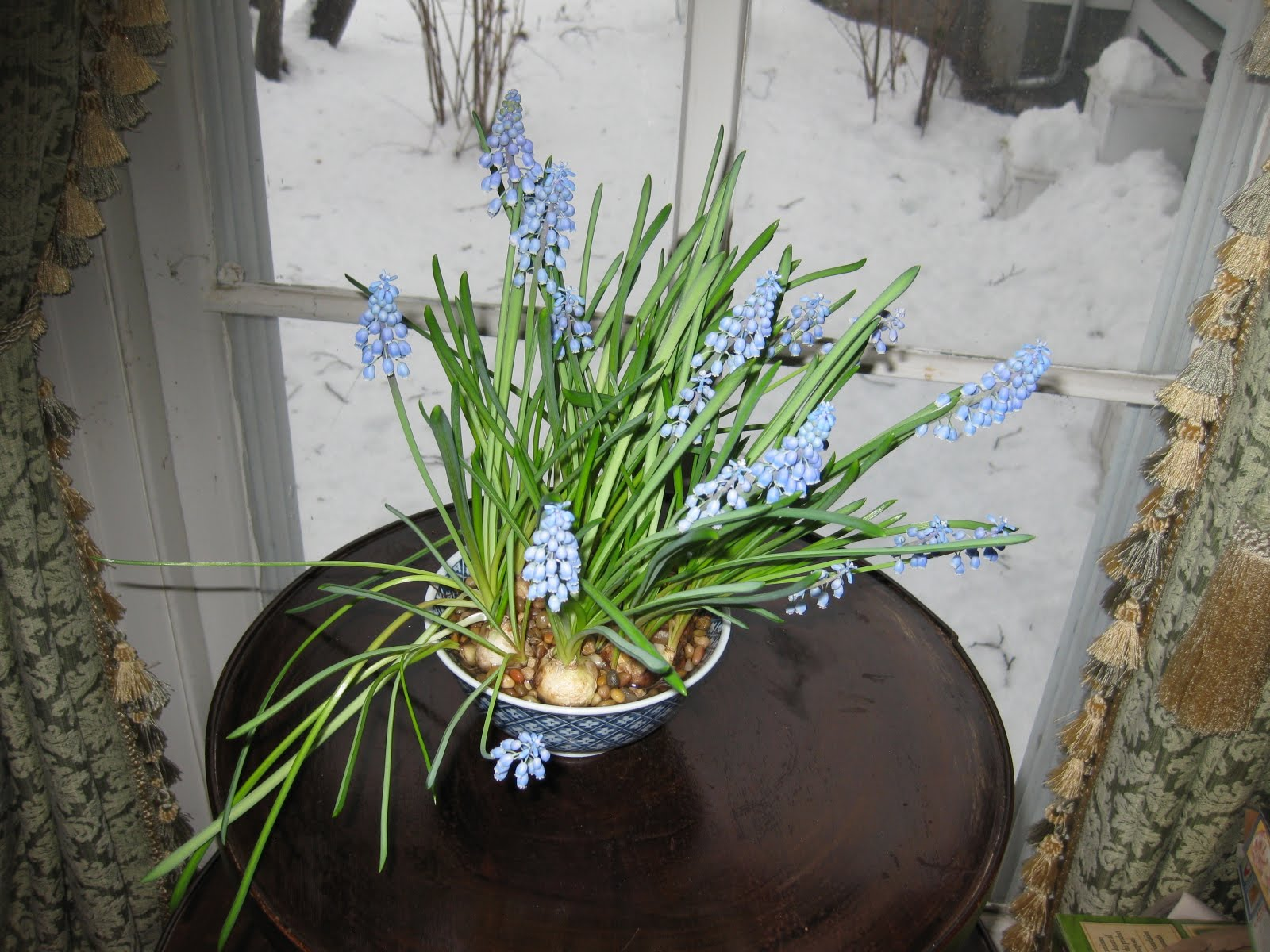 Potting Grape Hyacinths for Winter Bloom