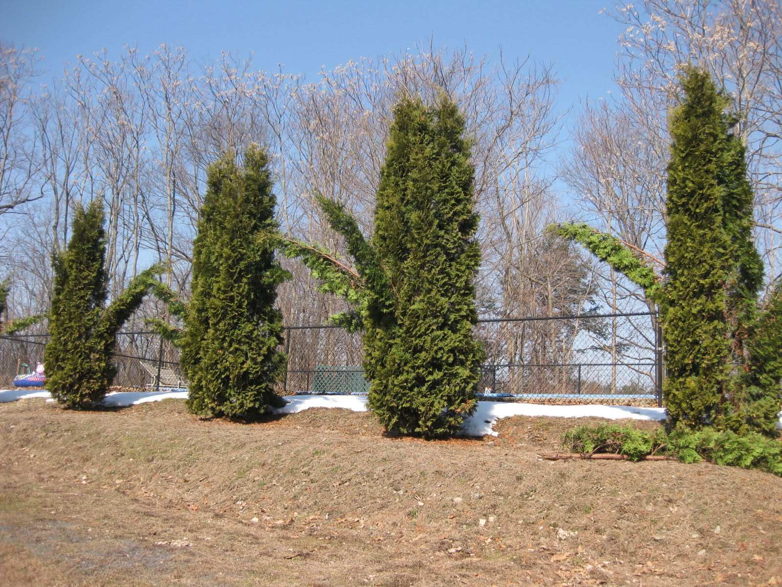 Prior To This Morning S Repair Work My Arborvitaes Above Which Form A Row Before The Fenced In Swimming Pool Looked Like They Had Sprouted Wings