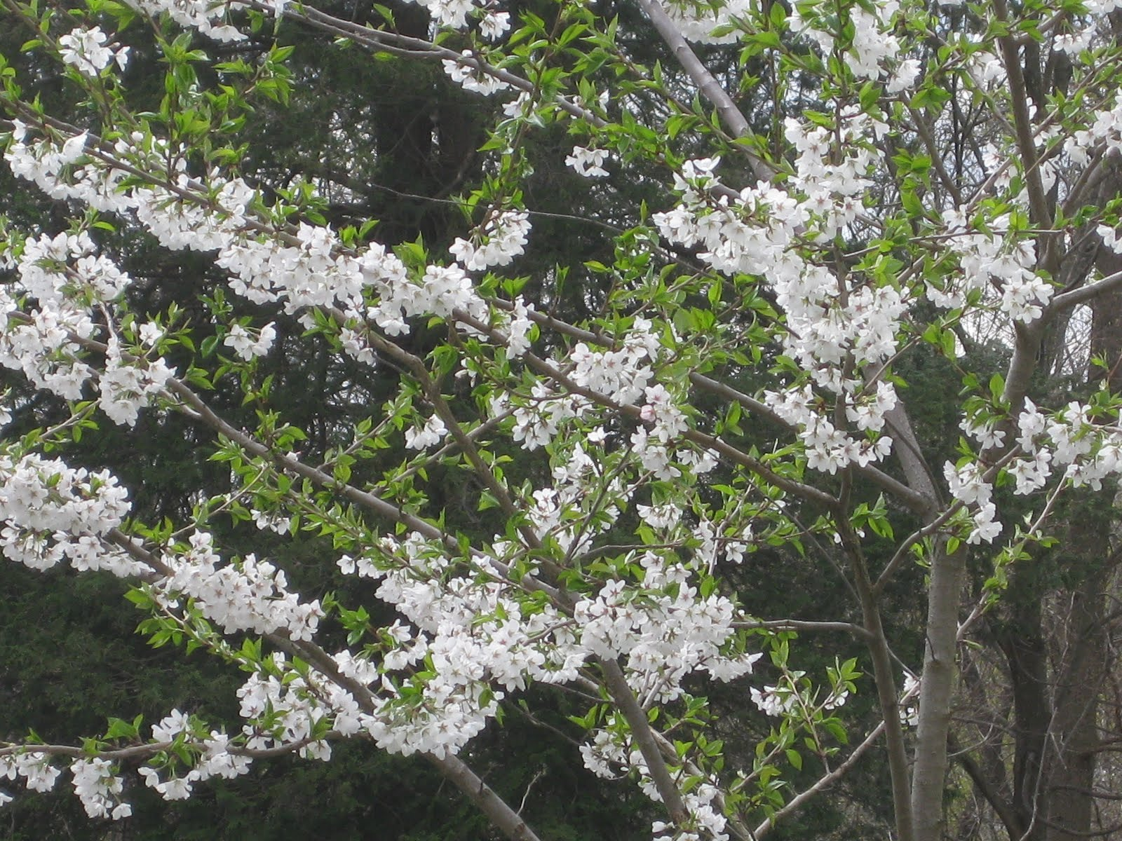 A Great Tree: Fragrant Yoshino Cherry