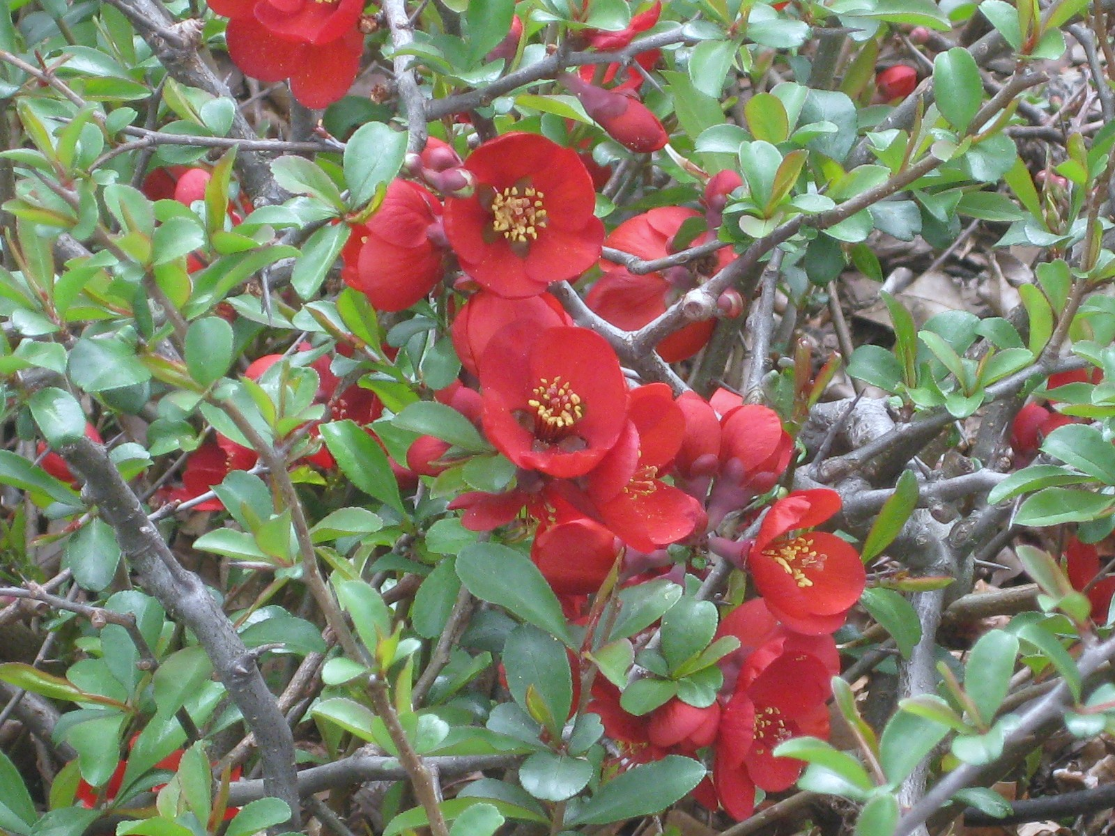 A Perfect Perennial: Flowering Quince 'Crimson & Gold'
